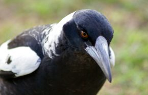how to avoid magpie attacks